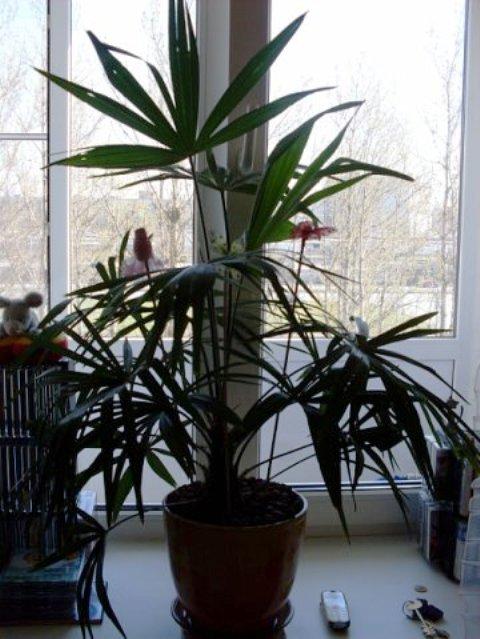 сочинский талисман, пальма_2