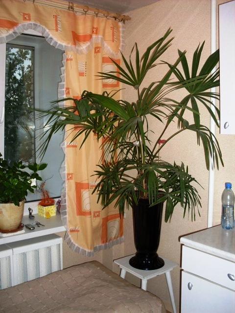 сочинский талисман, пальма_4
