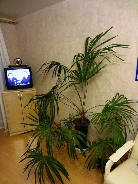 сочинский талисман, пальма_5